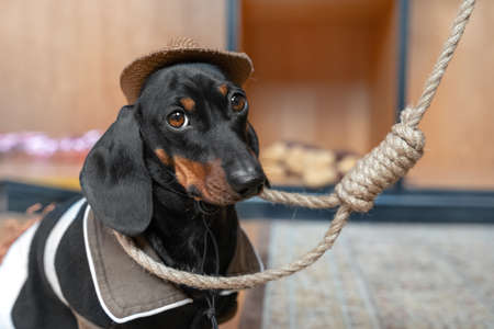 Lovely sad dachshund puppy in cowboy costume with wide-brimmed hat sits with a noose around its neck. Punishment of criminals by hanging. The problem of suicide.