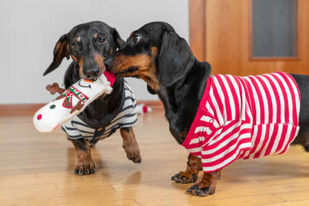 Two funny dachshund dogs in home t-shirts play with one soft toy in the shape of snowman, carry it in their teeth and compete for it. Joint entertainment.
