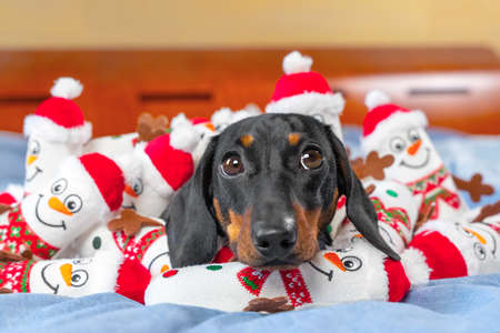 Portrait of lovely puppy lying in bed, toys in shape of snowmen scattered around and piled on pet. Greedy obsessed dog has collected all its favorite toys and is guarding them.
