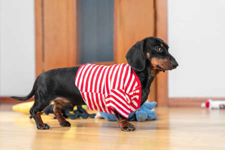 Funny dachshund puppy in home red and white striped t-shirt obediently stands and waits for a walk, feeding or when the owner will pay attention to it and play with pet, toys scattered around. Stock Photo