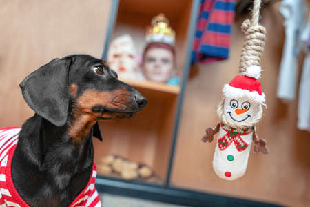 Cute dachshund puppy plays strangely with a soft toy in the shape of snowman - he hung it on gallows. The manifestation of cruelty in games among children and teenagers.