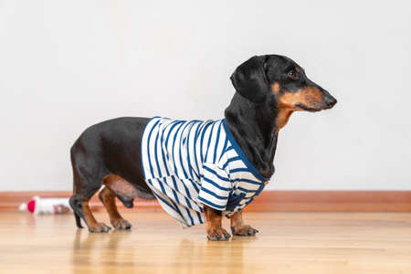 Lovely dachshund dog in home blue and white striped t-shirt obediently stands and waits for a walk, feeding or when the owner will pay attention to it and play with pet.