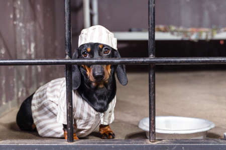 Sad dachshund puppy in striped prison uniform with cap is sitting in cell block, aluminum bowl is next to it. Wrongly convicted pet unfairly serves a term. Flawlessness of state judicial system.