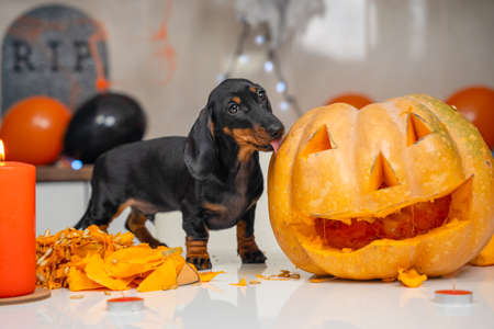 Someone made pumpkin lantern to decorate apartment for a Halloween party. Mischievous dachshund puppy has climbed on table and is trying to eat vegetable while owner is distracted