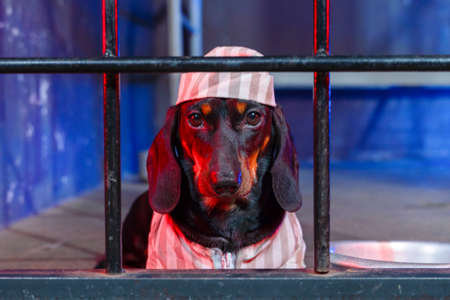 Portrait of severe dachshund dog in striped prison uniform with cap, sitting behind bars for crimes committed, front view. Justice was served and cruel criminal was convicted. Stock Photo