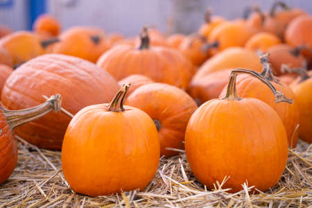 Ripe pumpkins are scattered on the straw, close up, blurred background. Harvested crop at seasonal food fair. Advertising of the agricultural industry