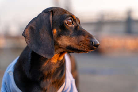 Portrait of adorable thoughtful dachshund puppy in old t-shirt, looking at the sunset or sunrise, illuminated by golden rays of the sun, front view, blurred background. Stock Photo