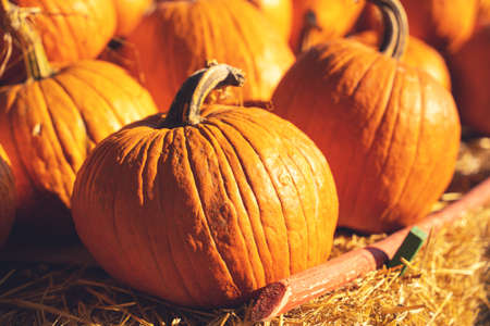 Ripe pumpkins are scattered on the straw, close up, blurred background. Harvested crop at seasonal food fair. Advertising of agricultural industry. Preparing for Halloween and Thanksgiving day Stock Photo