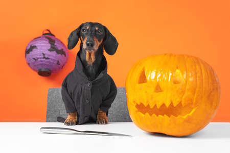Adorable dachshund dog in black shirt has prepared sharp knife and ripe pumpkin to make jack-o-lantern for decorating house for the Halloween party, front view, copy space. Stock Photo