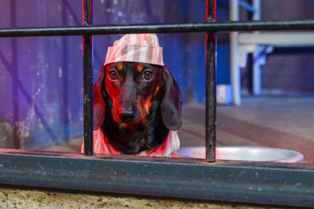 Sad dachshund puppy in striped prison uniform with cap is sitting in cell block, aluminum bowl is next to it. Wrongly convicted pet unfairly serves a term. Flawlessness of state judicial system. Stock Photo