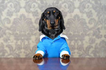 Portrait of cute dachshund puppy in blue jumpsuit with white cuffs and collar, sitting busily at table with serious look, against the background of wallpaper with old-fashioned pattern, front view. Stock Photo