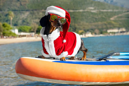 Cute dachshund dog in sunglasses for pets with polarizing lenses and Santa costume is standing on SUP board. Outdoor activities during holidays. Funny idea for greeting postcard or calendar. Stock Photo