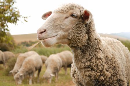countrylife: sheep