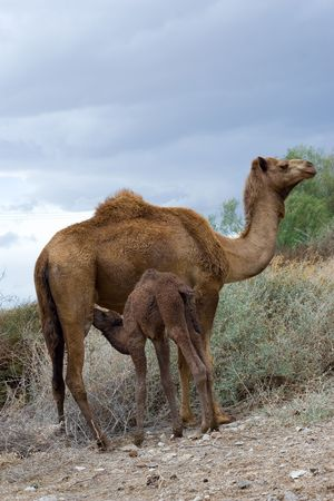 Camels mother breastfeeding camels baby