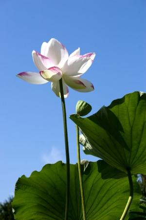 beautiful white lotus on blue sky background. Stock Photo