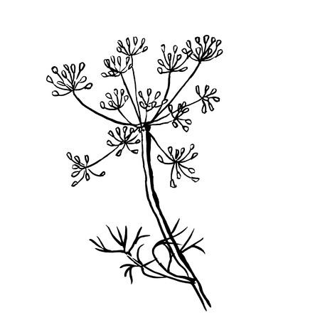 potherb: dill  isolated on white background. Hand drawn vector illustration, sketch. Elements for design.