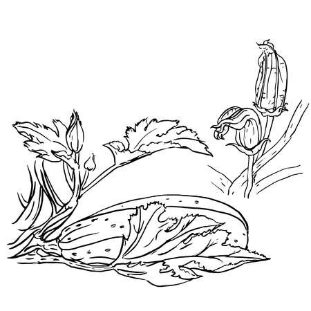harvest time: Vector illustration of ink brush zucchini and flowers, hand drawn Illustration