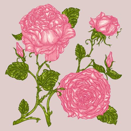 Peonía o rosa de flores en el estilo de grabado victoriano. Ilustración de vector