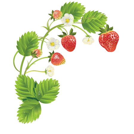 beautiful strawberries. vector illustration of a realistic