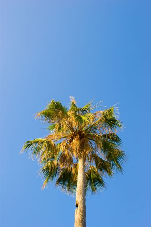 Two Tall palm treen with a clouded blue sky in the background Stock Photo - 7166420