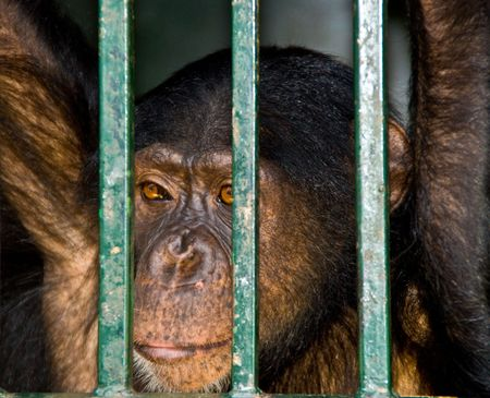 waiting convict: A very sad chimp looking through the bars of his cage