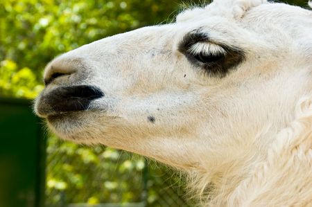 A white lama looking side ways photo