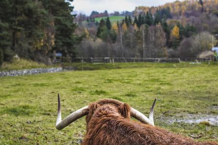 highlander: vaca escocesa de la montaña