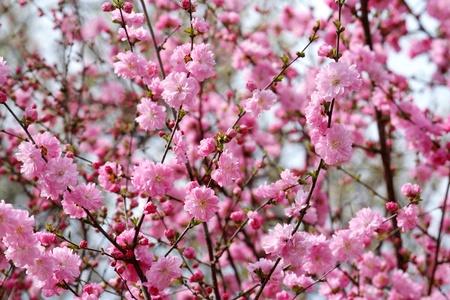 sherry: Oriental sherry flowers