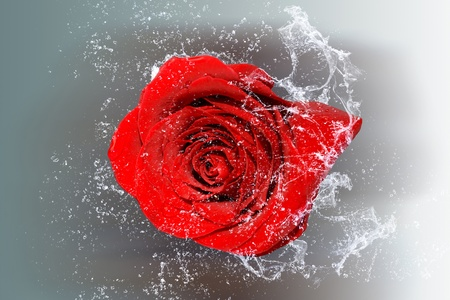 rose bud: Elegant rose with water drops  Objects and water serial