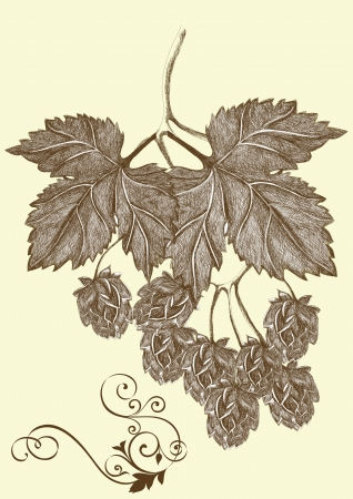 humulus lupulus: hand drawn hop branch for your design.  Illustration