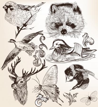 raton laveur: Collection d'animaux vecteurs de haute d�taill�es pour la conception Illustration
