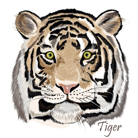 close up eye: Vector illustration with hand drawn detailed tiger portrait