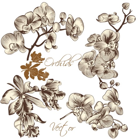 orchid: Collection of high detailed vector orchid flowers for design Illustration