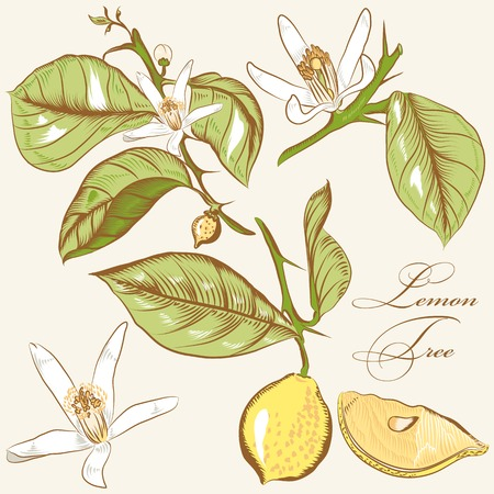 lemon tree: Vector set of hand drawn lemon flowers for design Illustration