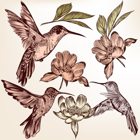 hummingbird: Vector set of detailed hand drawn birds for design