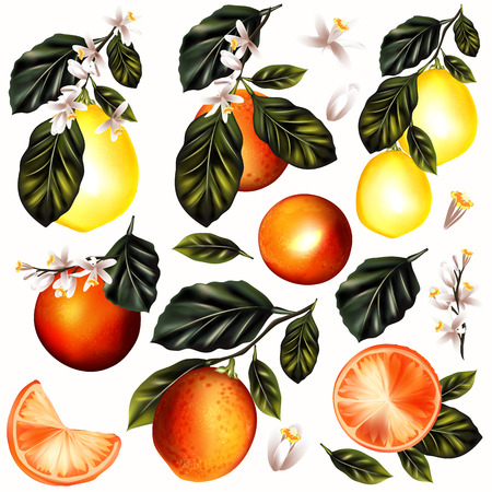 Collection or set of vector detailed citrus oranges and lemon on a blooming branches isolated on white Illustration