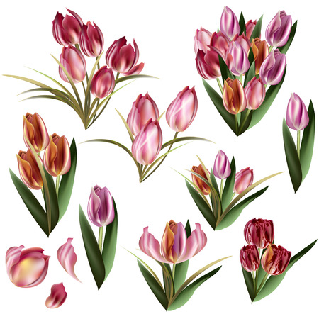 rosy: Collection of vector realistic tulips for design in pink red and orange colors