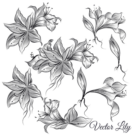 lily flowers collection: Collection or vector set of hand drawn lily flowers in engraved style