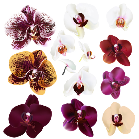 Collection of vector realistic orchid flowers for design 向量圖像