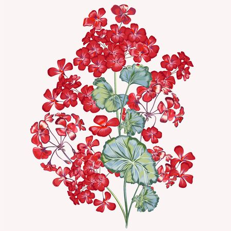 Beautiful vector illustration with red geranium flower in high detailed style