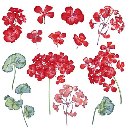 Collection of vector geranium flowers for design in red color Çizim