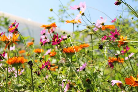 Beautiful cosmos and calendula flowers blooming in garden
