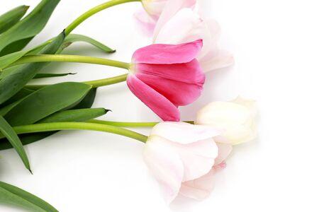 Beautiful fresh pink white tulips bouquet  isolated on white studio background
