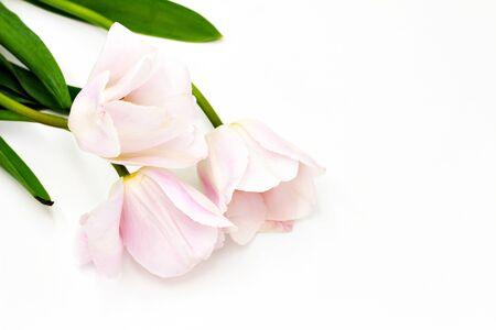 Beautiful fresh three pink white tulips isolated on white studio background  Stok Fotoğraf