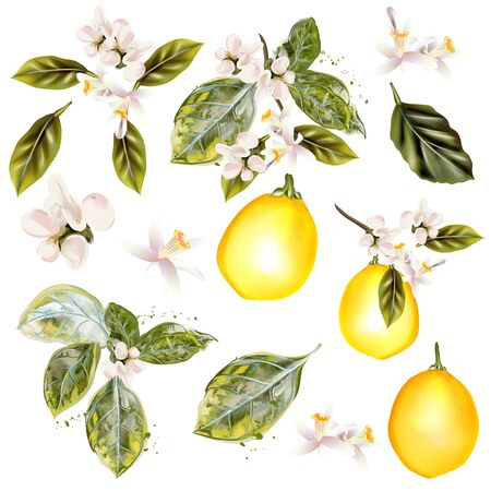 Collection of vector lemon with flowers in vintage realistic style Çizim