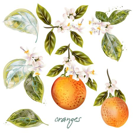 Set of vector blooming oranges with fruits and flowers vintage style