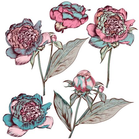 Collection of vector hand drawn colored peony flowers in vintage botanical style 일러스트