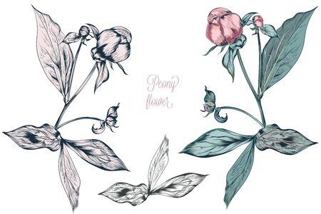 Vintage vector botanical illustration with peony flower bud