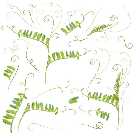 Set of vector plant leaves in green color, mouse peas