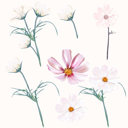 Set of vector light pink and white cosmos flowers, spring style